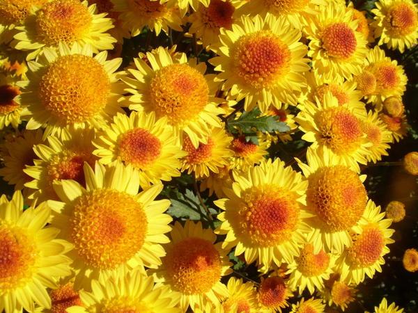 Хризантема садовая сорт Золотая монета, фото автора