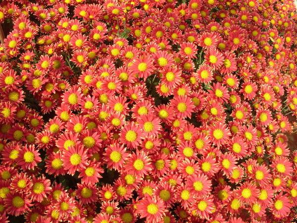 Хризантема садовая сорт Сухоцветик, фото автора