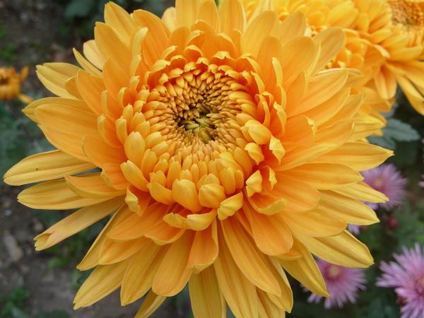 Хризантема садовая сорт Янтарная леди, фото автора