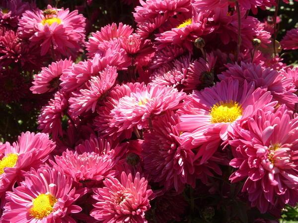 Хризантема садовая сорт Сиреневая мелодия, фото автора
