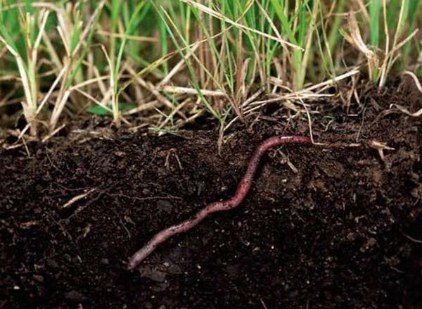 Важнейшие работы по созданию гумуса выполняют дождевые черви. Фото с сайта gazon-spb.ru