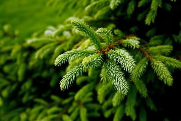 Ель - классический вариант новогоднего дерева