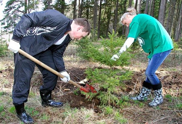 Весной новогоднюю елочку можно высадить в открытый грунт. Фото с сайта koffkindom.ru