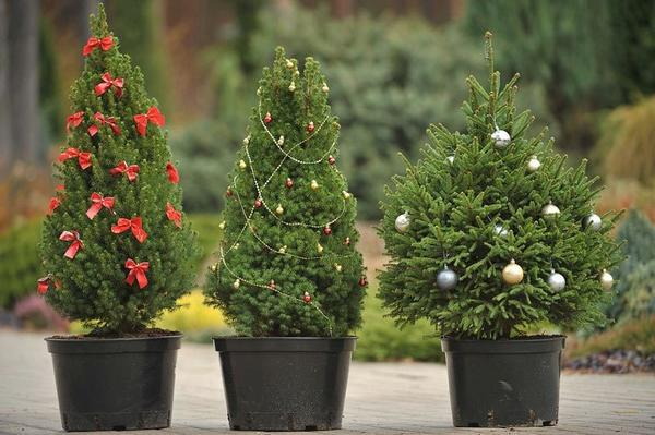 Новогоднее дерево можно взять напрокат. Фото с сайта 185504.selcdn.ru