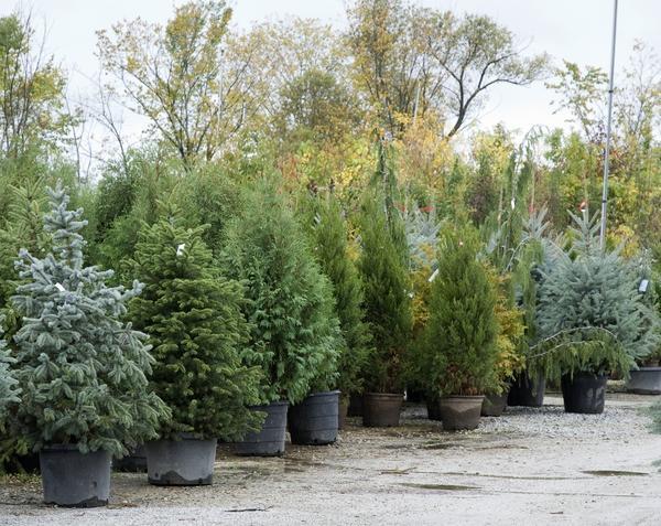 Купить хвойное дерево в контейнере - не проблема