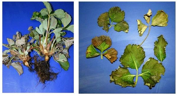 Растения страдают от Phytophtora cactorum. Фото с сайта projects.ncsu.edu
