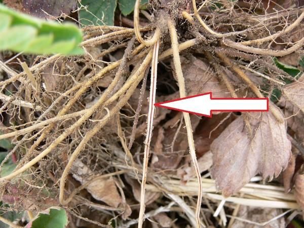 По корням заболевание можно определить уже осенью. Фото с сайта omafra.gov.on.ca