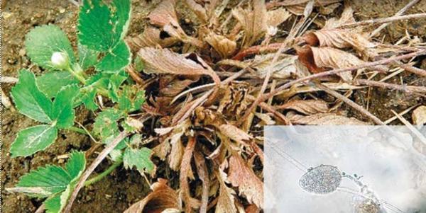 Фитофтороз земляники. В правом нижнем углу возбудитель болезни. Фото с сайта vniikr.ru