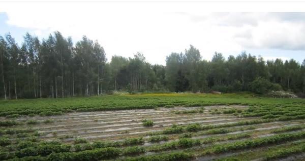 Проплешины на плантации земляники - работа фитофтороза. Фото с сайта vniikr.ru
