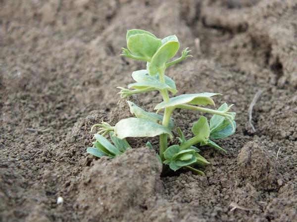 Весной рост начнется из подземных почек. Фото с сайта agroexp.com.ua