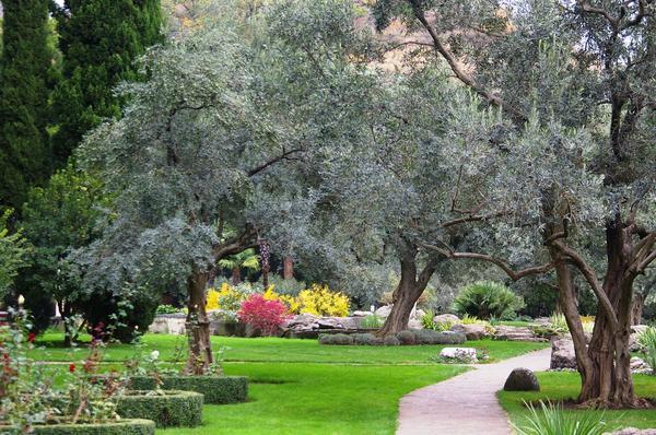 Ажурные кроны деревьев маслины европейской, фото автора