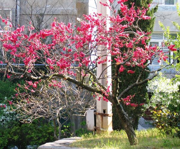 Ажурная крона декоративного персика в период цветения (весной), фото автора