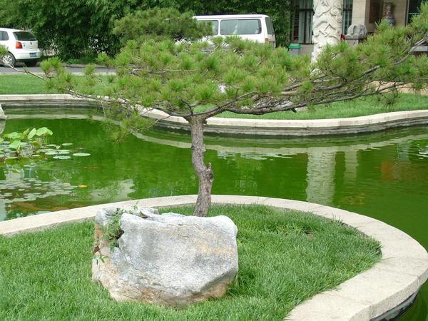 Ажурная сосна – солитер. Китай. Фото автора