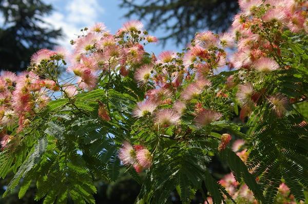 Ажурная крона ленкоранской акации в период цветения (летом), фото автора