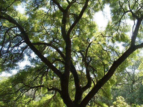 Игра света и тени в ажурной кроне дерева, фото автора
