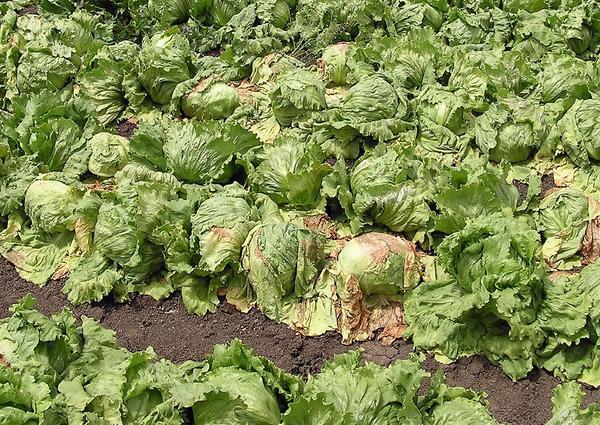 Вертициллезное увядание салата. Эффективного лечения растений не существует. Фотография с сайта calag.ucanr.edu
