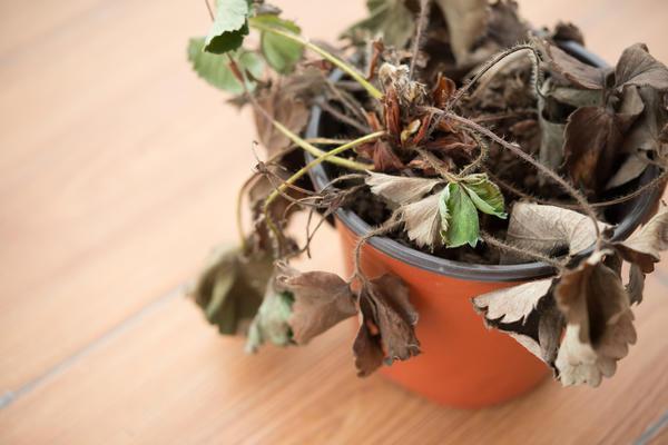 Вертициллезное увядание земляники садовой