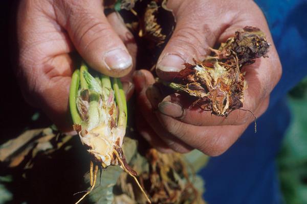 Слева - здоровое растение, справа - больное. Фото с сайта en.wikipedia.org