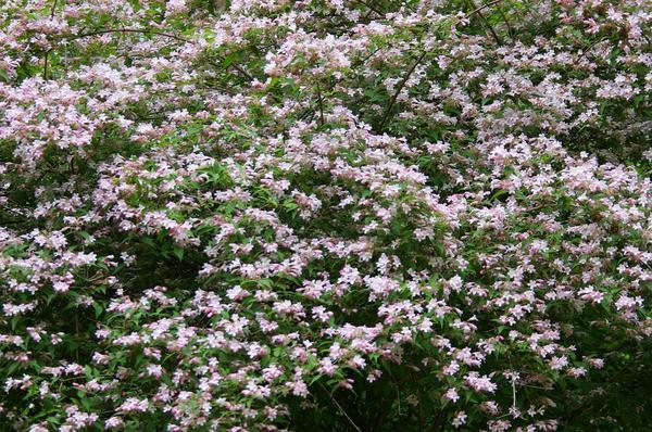 Роскошная полуажурная красавица - кольквиция, фото автора