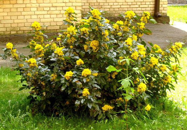 Магония нетребовательна к составу почвы, но лучше растет и цветет на плодородной слабокислой. Фото с сайта kpi.ua