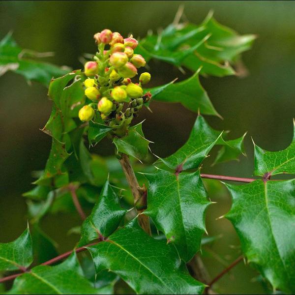 Острые шипы придают листьям магонии особое очарование. Фото с сайта pitomnik-berezka.ru