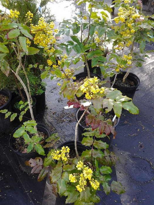 Предпочтительно вегетативное размножение - так магония скорее порадует цветением. Фото с сайта chto-posadit.ru