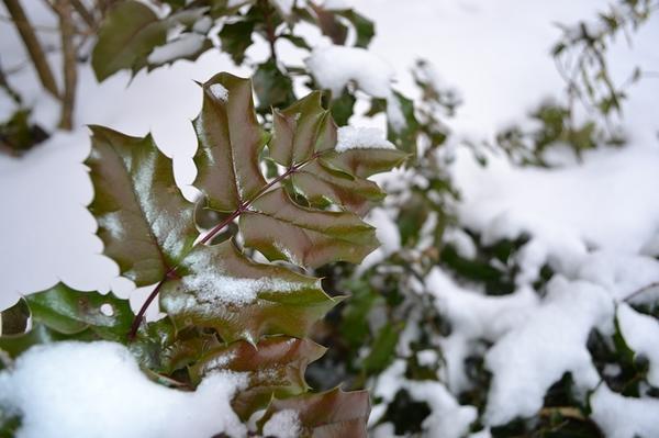 Первые пять лет жизни магонию желательно укрывать на зиму. Фото с сайта sadvrn.ru