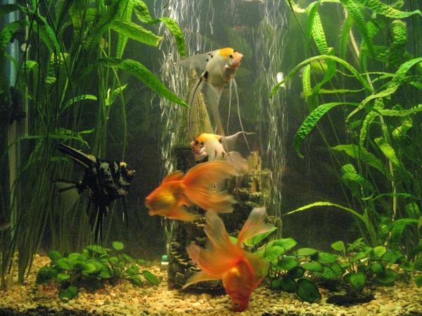 Прекрасной альтернативой покупным удобрениям может стать обыкновенная аквариумная вода. Фото с сайта akvaron.ru
