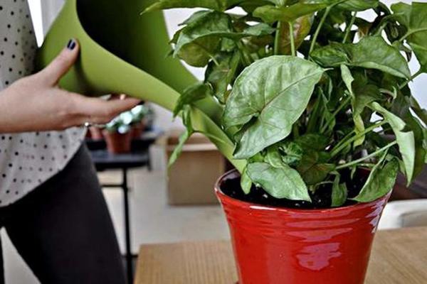 Подкармливая домашние растения, не переусердствуйте - все хорошо в меру. Фото с сайта mirnasos.ru