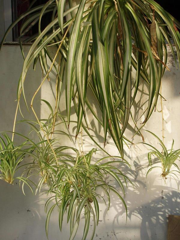 При нехватке питания растения теряют декоративный вид, их сопротивляемость болезням и вредителям снижается. Фото с сайта upload.wikimedia.org