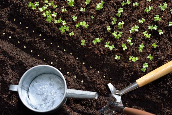 Семена от сильных материнских растений отличаются высокими посевными качествами