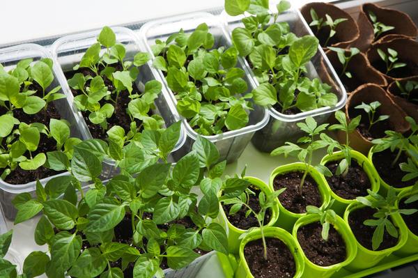Качественные семена - добротная рассада
