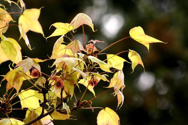 Листья теплолюбивого ликвидамбра смолоносного очень похожи на листья более зимостойких кленов средней полосы России, фото автора