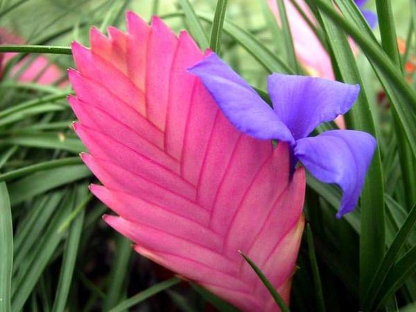 Цветок тилландсии крупным планом, фото с сайта dachadecor.ru