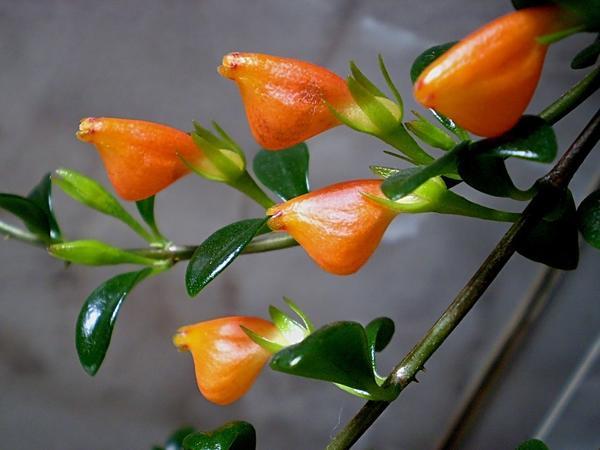 Цветки гипоцирты крупным планом, фото с сайта mtdata.ru