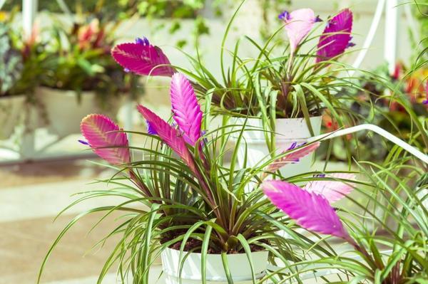 Яркая экзотическая тилландсия, фото с сайта villaved.ru