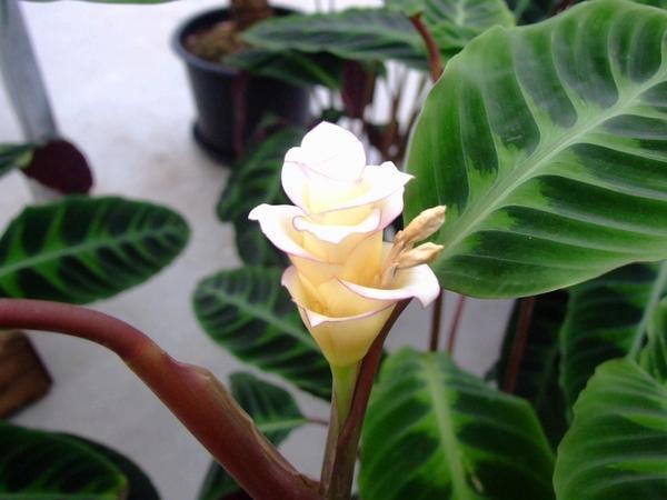 Калатея полосатая в период цветения, фото с сайта herbcare.ru