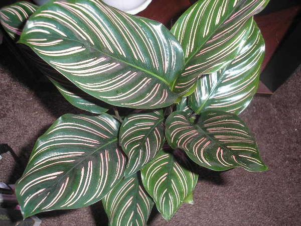 Калатея украшенная, фото с сайта static.flickr.com