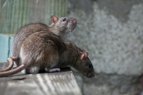 Если нет животных-крысоловов, избавляйтесь от крыс всеми возможными способами, фото с сайта vokrugsveta.ru