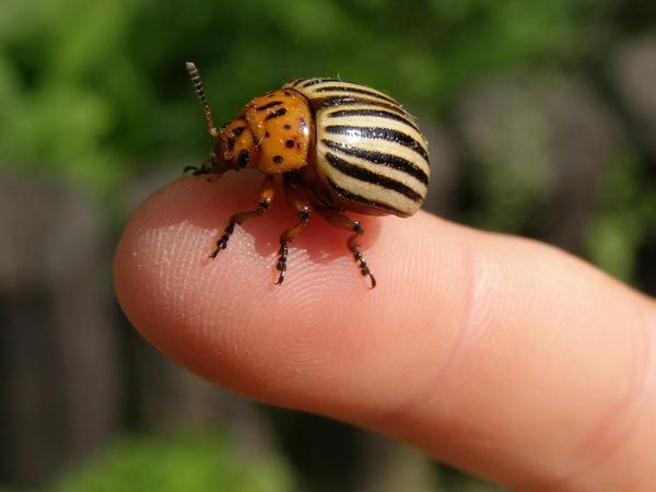 Наш хороший знакомец - колорадский жук