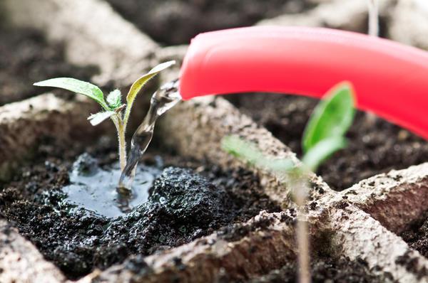 Влажность грунта должна быть в норме. Фото с сайта medicalmarijuana.com