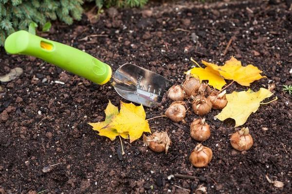 Луковичные лучше покупать осенью. Фото с сайта libertateapentrufemei.ro