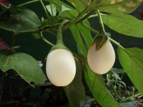 Семена необычного сорта купить легче, чем готовую рассаду. Фото с сайта bazarcriativo.com