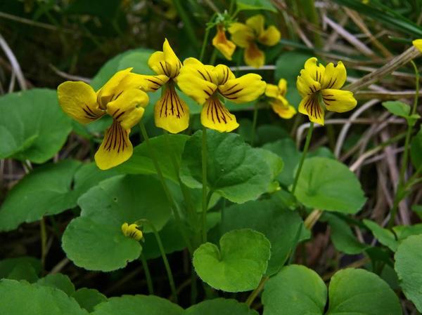 Фиалка двухцветковая. Фото с сайта luontoportti.com