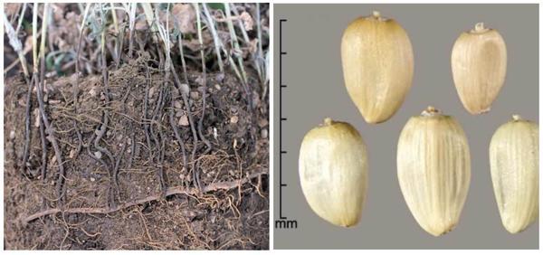 Корневая система и семена горчака ползучего. Фото с сайтов fb.ru и keys.lucidcentral.org