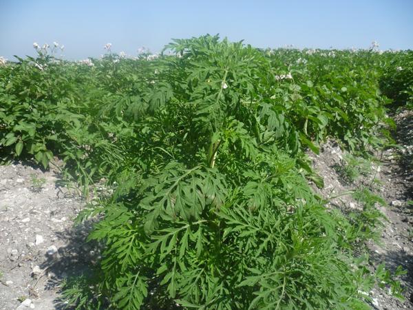 Ответственность за карантинные сорняки на участке несет его владелец. Фото с сайта rsn-sk-26.ru