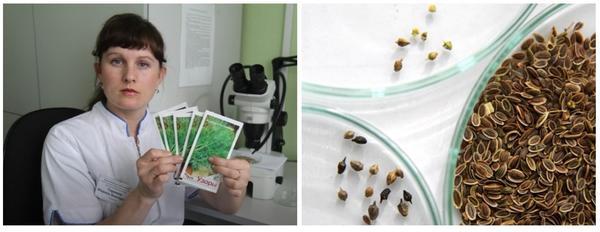 В Иркутске в пакетах с семенами укропа обнаружены семена амброзии полыннолистной. Фото с сайта kp.md