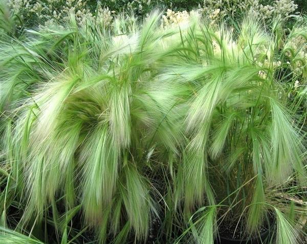Ячмень гривастый. Фото с сайта agronomu.com