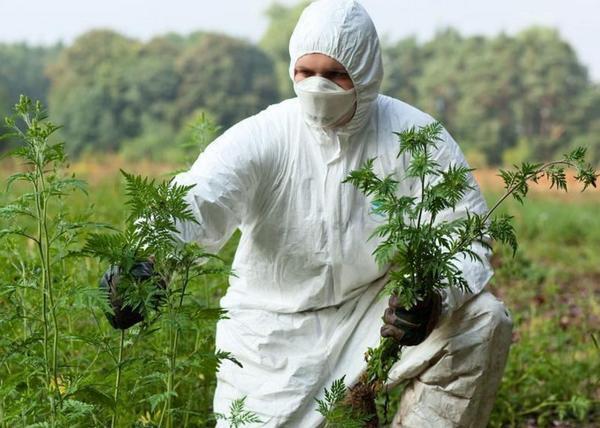 Пыльца амброзии вызывает поллиноз и бронхиальную астму. Фото с сайта cdn.goloskarpat.info
