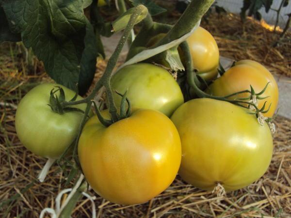 Томаты сорт Крем-брюле удивят необычной окраской плодов